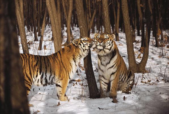 Má tygří lesy velký penis
