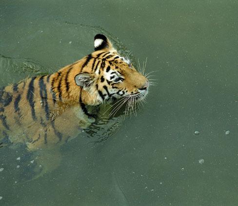 jak velký je péro tygra lesa
