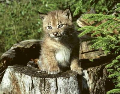 cougar datování Švédsko