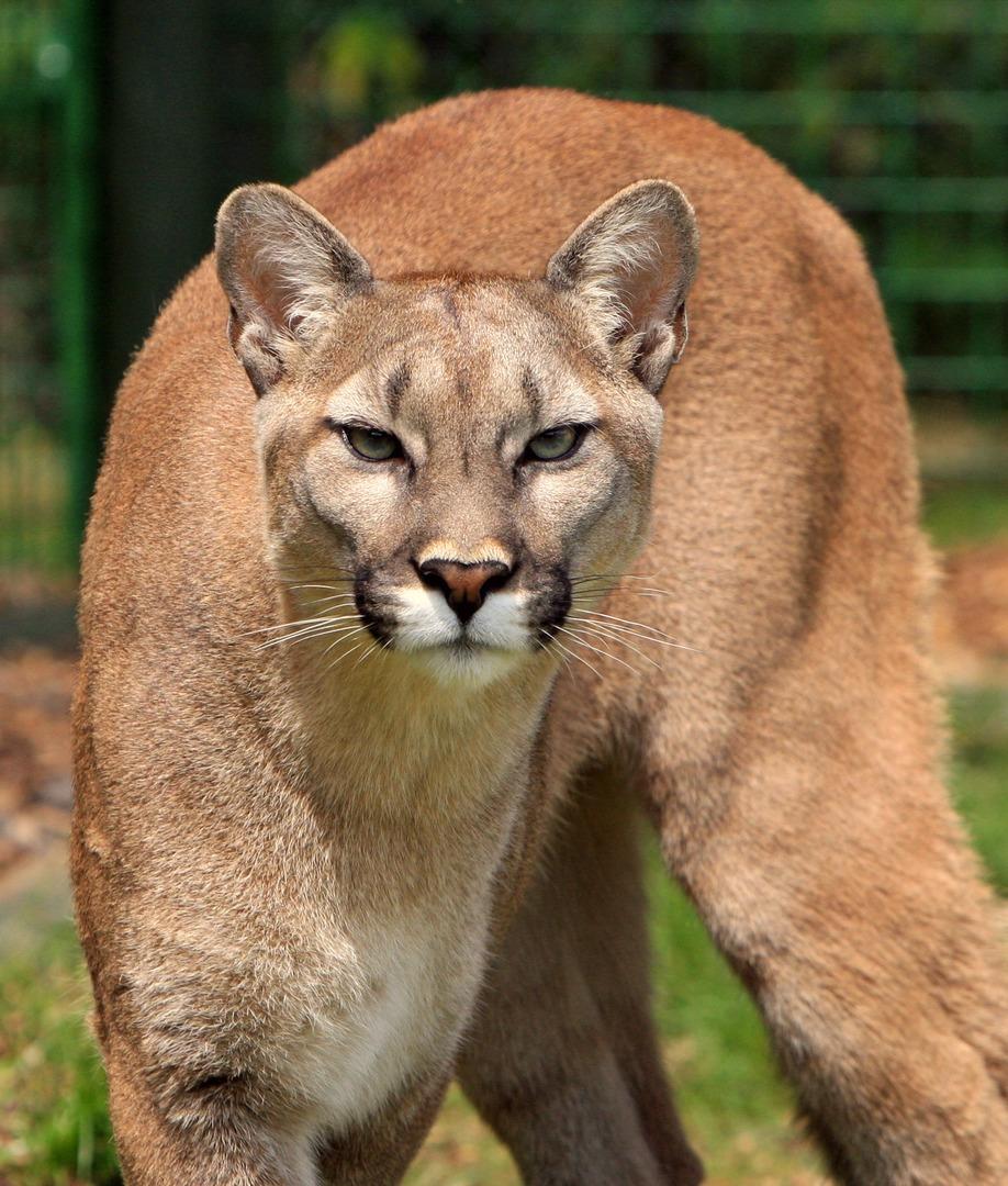 Datum A Cougar nyní Cougar Chodit s někým Made Simple Nyní můžete najít.