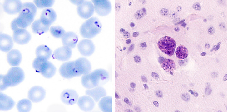 paraziti plasmodici